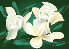 Magnolia Royalty Free Stock Photo