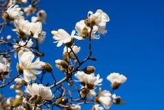 magnolia Royaltyfria Bilder