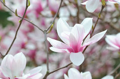 The Magnolia. Magnolia Alexandrina in full bloom, a very popular variety of saucer magnolia royalty free stock image