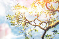 Magnolia. Branch of magnolia in the sun rays royalty free stock photos