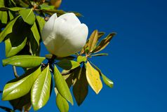 Magnolia. The large, white magnolia flower against the blue sky, it looks very impressive Stock Photo