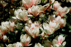 Magnolia-3. Magnolia grandiflora, Spring garden - flowers Royalty Free Stock Photos