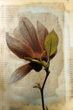 Magnolia. A grungy image of a magnolia flower vector illustration