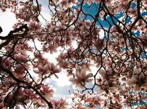 Magnolia Στοκ Εικόνες
