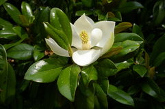 Magnolia Royalty Free Stock Image