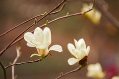 Magnolia Photo stock