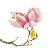 Magnolia. Zdjęcie Stock