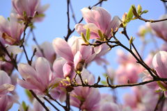 Magnolia Royaltyfri Foto