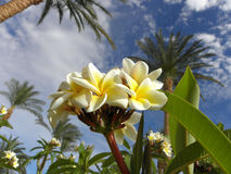 Magnolia Obraz Royalty Free