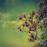 Magnolia Fotos de archivo libres de regalías