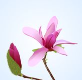 Magnolia Royalty-vrije Illustratie