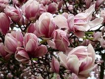 magnolia стоковое изображение