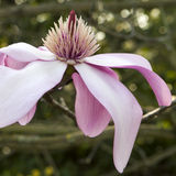 magnolia Imagens de Stock Royalty Free
