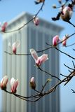 Magnolia. A pink magnolia on early spring in Labor Park Dalian, China Royalty Free Stock Photo
