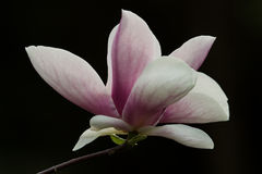 Magnolia. Blossoming in a garden Stock Photography