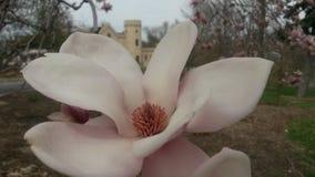 Magnolia Image stock