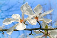Magnolia. White magnolia blossoming by early spring stock photography