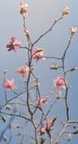 Magnolia Fotografia Stock