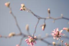 Magnolia Zdjęcie Stock