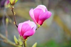 Magnolia Images libres de droits