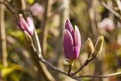 Magnolia Fotografia Royalty Free
