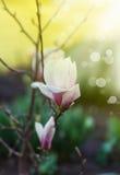 magnolia Fotos de Stock