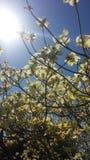 Magnolia Στοκ εικόνα με δικαίωμα ελεύθερης χρήσης