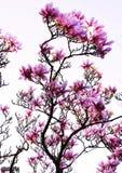 magnolia Fotografia de Stock Royalty Free