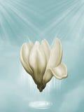 Magnolia ελεύθερη απεικόνιση δικαιώματος