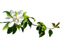 Magnolia royalty-vrije stock foto's