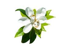 Magnolia Fotografía de archivo