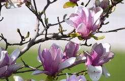 Magnolia. Flowers in full bloom Stock Images