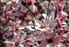 magnolia Fotografie Stock