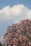Magnolia. Blooming magnolia tree against threatening cloudy sky Stock Image