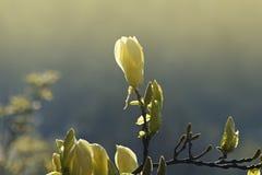Magnolia royalty-vrije stock afbeelding