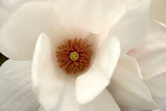 Magnolia Immagini Stock