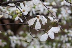 Magnolia Obrazy Stock