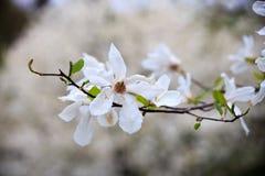 Magnolia Fotos de archivo