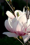 Magnolia royalty-vrije stock foto