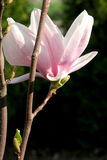Magnolia Royalty Free Stock Photography