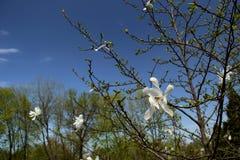 Magnolia Stock Afbeelding