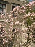 Magnolia Royaltyfri Bild