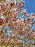 Magnolia Photo stock