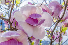 Magnolia Stock Afbeeldingen
