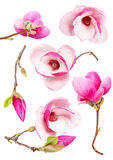 Magnolia. Beautiful fresh magnolia flowers isolated on white background royalty free illustration