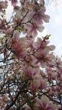 Magnolia Arkivbild