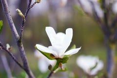 Magnolia Arkivbilder