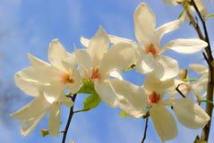 Magnolia Royalty-vrije Stock Afbeeldingen