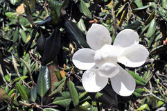 Magnolia Fotografía de archivo libre de regalías