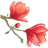 Magnolia Foto de archivo libre de regalías